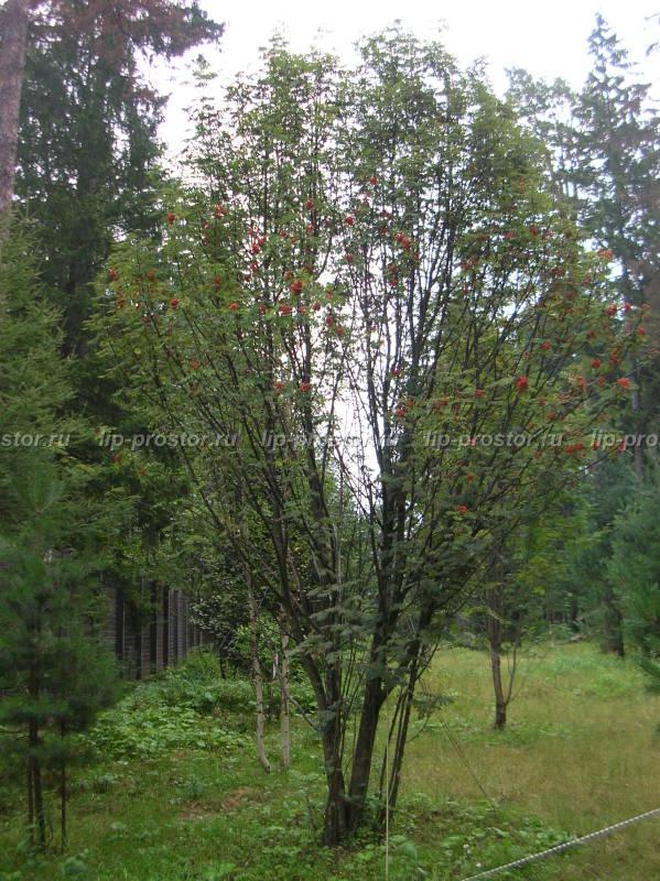 Продажа и посадка саженцев деревьев