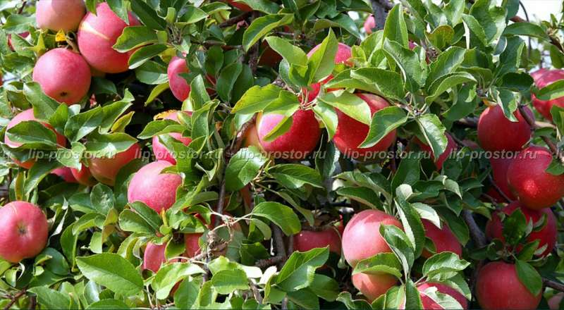 Яблоня коричное полосатое описание
